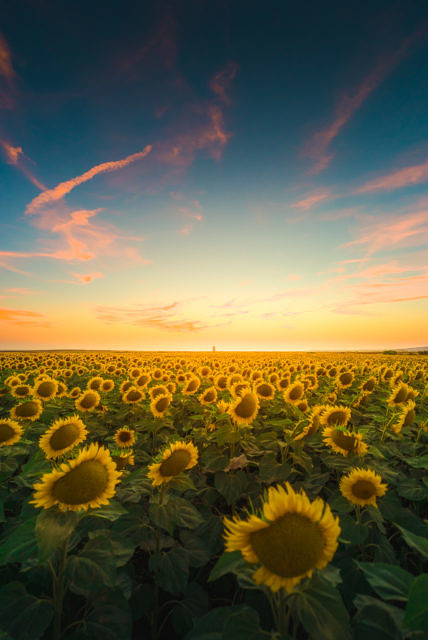 Sunflowers at sunset El Palmar
