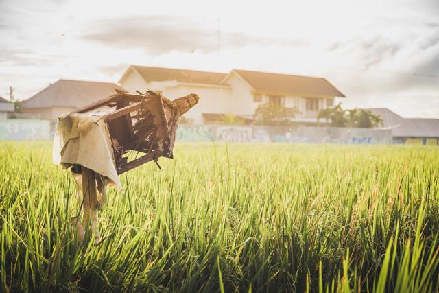 Canggu Rice paddies