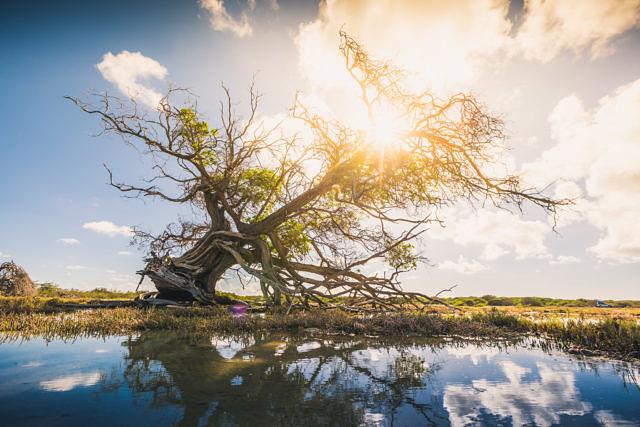 Mangrove tree Bonaire