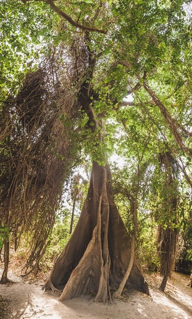 Gambia trees