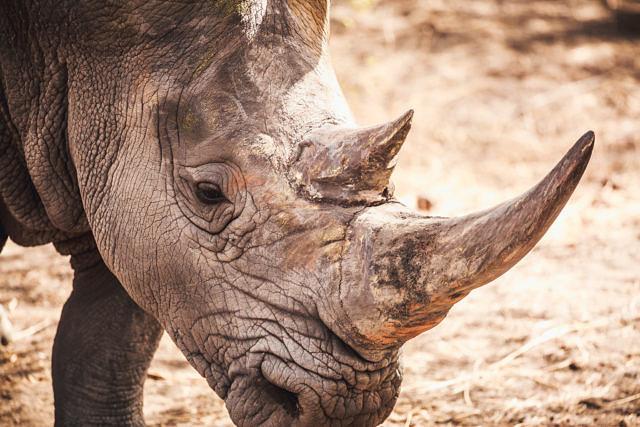 Senegal Rhino