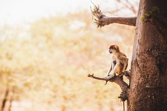 Senegal monkey