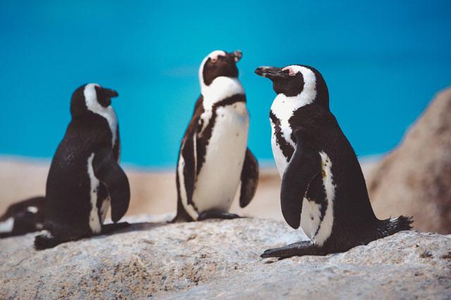 Cape pinguins