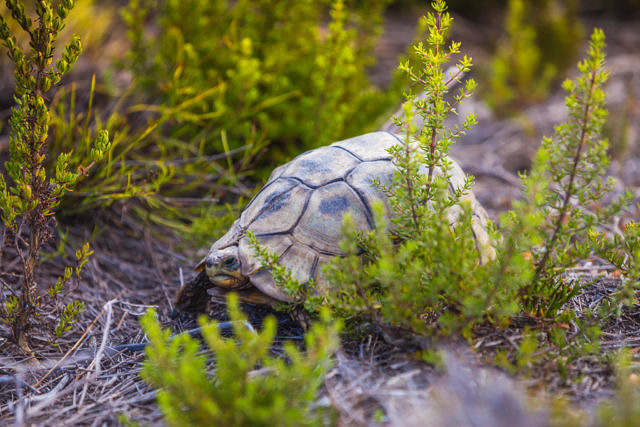 Cape the good hope tortoise